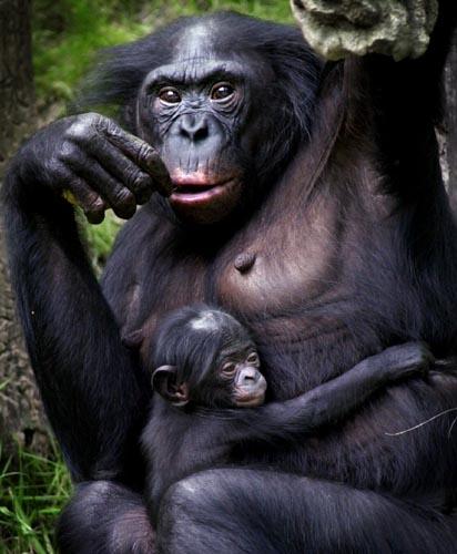 Mare bonobo amb el seu petit